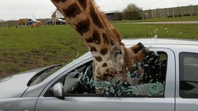 Un girafe avec un long coup et des taches marrons fout un coup de boule à un bagnole.