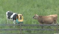 Casque de vache