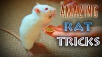 Tours de rats