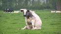 Une vache assise