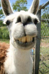 Ceci est un lama