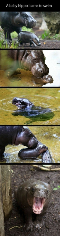 Bébé hippo