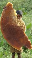 Un rayon de miel sauvage
