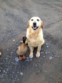 Bon chien chasse de race