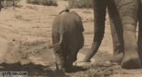 Le sirop contre la toux, chez les éléphanteaux
