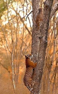Tigresse pourchassant un léopard