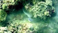 Murène géante contre requin