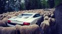 Lambs vs Lambo