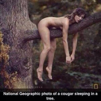 Photo de cougar dormant sur un arbre
