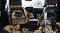 Laisser ses chiens dans la voiture