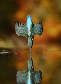 Photo parfaite d'un martin-pêcheur rencontrant parfaitement son reflet