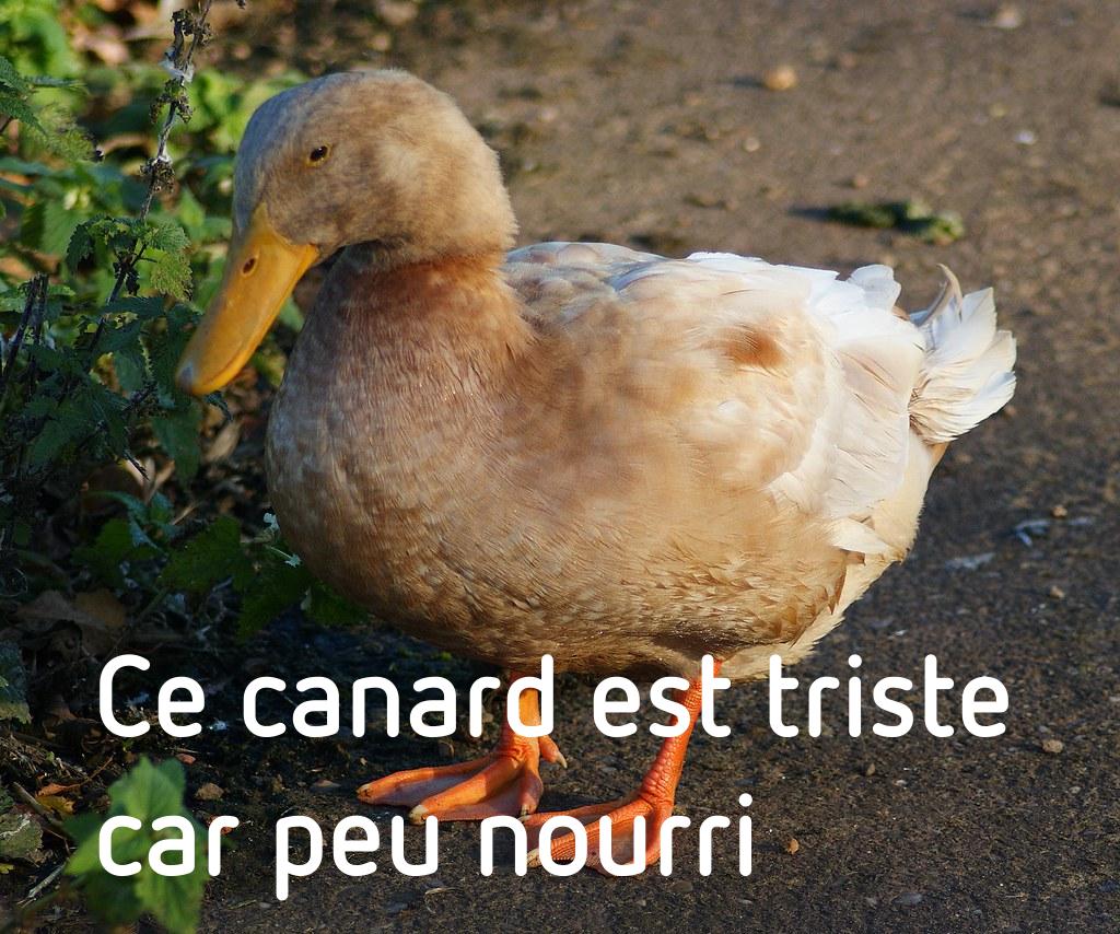 Ce canard est triste car peu nourri
