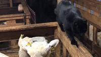 Chat vs mouton