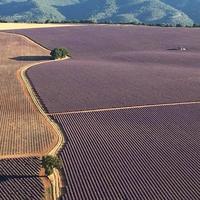 Champs de lavande près de Sault (Vaucluse)