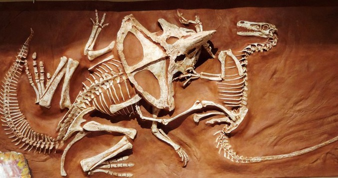 Ce fossile, découvert en 1971 dans le désert de Gobi, est celui d'un protocératops (petit herbivore) et d'un vélociraptor se battant.   Le vélociraptor a sa griffe plantée dans le coup du protocératops, sans doute proche de la carotide. Le protocératops semble lui avoir mordu et brisé le bras droit du vélociraptor, dont la main gauche agrippe la tête du protocératops.  Les deux se sont sans doute retrouvés immobilisé ainsi lors d'un soudain écoulement de sable il y a 80 millions d'années.