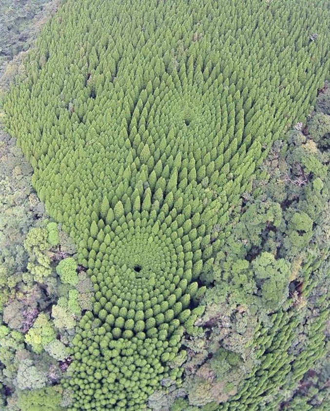 Ou plus simplement, un test scientifique mené par une équipe japonaise il y a 50 ans, pour connaître l'influence de l'espacement des arbres dans la hauteur qu'ils peuvent atteindre. Ils ont donc planté ceux-ci de manière concentrique en les espaçant de plus en plus.