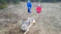 Un homme libère un loup pris au piège
