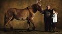 Mule du Poitou