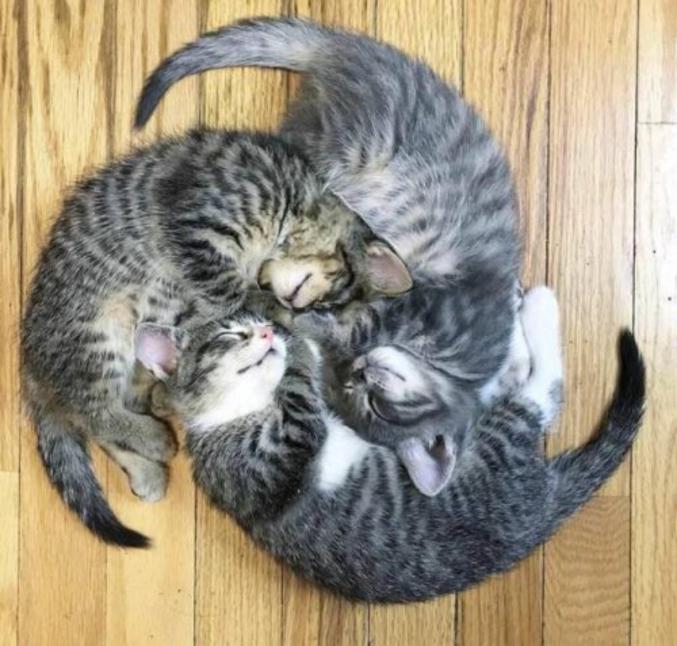 Des chats celtes.