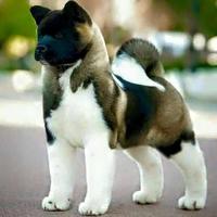 Un chien akita