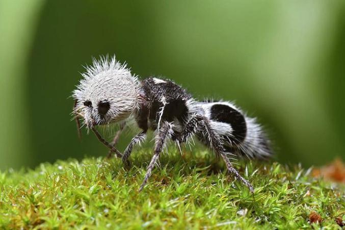 """Ce spécimen de mutillidae rarissime a été découvert il y a peu dans les forêts du Chili. Leur nom commun se réfère à leur poils, le plus souvent d'un rouge écarlate ou orange, mais il peut aussi être noir, blanc, argent ou or.  Les spécimens en noir et blanc sont communément appelés """"fourmis panda"""" en raison de leur coloration des poils ressemblant à ceux du panda géant chinois. Ces insectes sont connus pour leurs piqûres extrêmement douloureuses."""