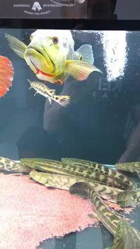 Derviche poisson