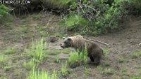 Kan l'ours veut déféquer tranquillement...