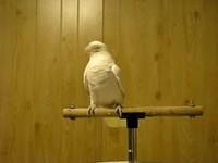 Headbanging Perroquet
