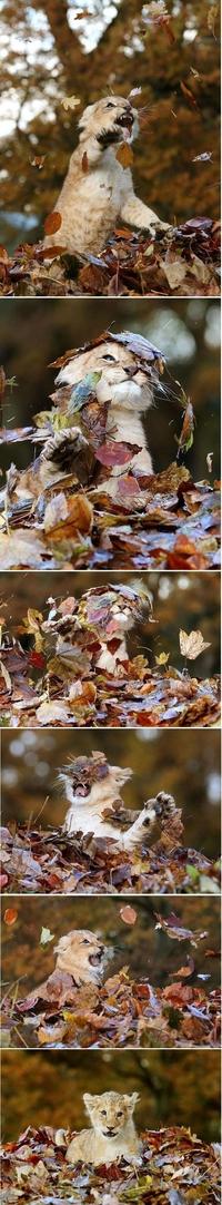 Lion d'automne