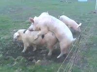 Cochons et clôture électrique
