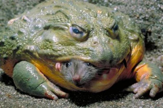 La grenouille et le rat.