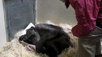 Un chimpanzé de 59 ans reconnait son vieil ami
