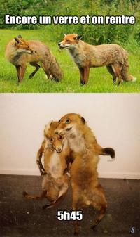 Même chez les renards !