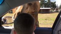 L'attaque du lama