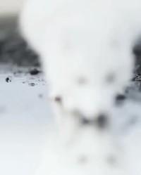Un renard polaire