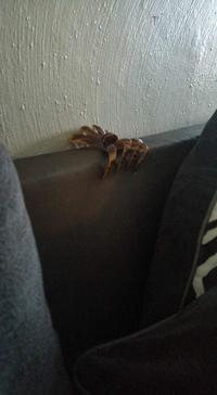 Pince à cheveux araignée