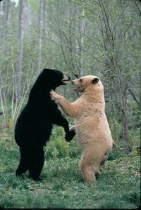 Kan© deux ours se rencontrent