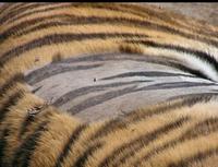 Même rasé, un tigre conserve ses rayures!