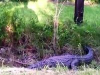 Un herpétologue mordu par un alligator
