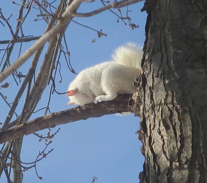 """NB: J'ai pas osé mettre """"écureuil ch'ti"""" (consanguinité, toussa, toussa...)"""