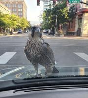 Au carrefour, tentative de racket d'un faucon ?