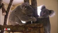 Le cri du koala 2