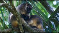 Vidéo rare de kangourous arboricoles