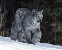 Lynx canadien