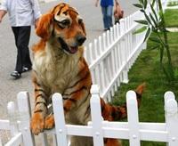 Chien tigré
