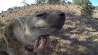 Hyène amicale