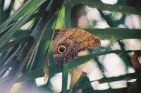 Papillon hibou