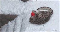 Panthère des neiges + neige
