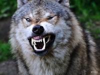 Kan un loup te fait un clin d'oeil