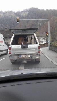 Quand tu promènes tes vaches